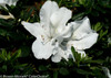 White Bloom-A-Thon White Azalea Bloom