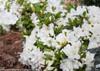 Bloom-A-Thon White Azalea Shrub Covered in White Blooms
