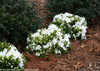 Bloom-A-Thon White Azalea in Landscaping With Pine Needle Mulch