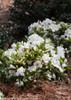 Bloom-A-Thon White Azalea Bush Covered in Flowers