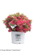 Bollywood Azalea Shrub in Proven Winners Pot