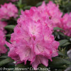 Dandy Man Pink Rhododendron Flowers Close Up