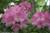 Dandy Man Pink Rhododendron Foliage and Flowers