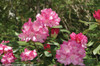 Dandy Man Pink Rhododendron in the Sun
