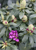Dandy Man Purple Rhododendron Flower Buds