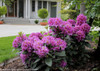 Dandy Man Purple Rhododendron in Landscaping