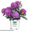 Dandy Man Purple Rhododendron in Proven Winners Pot