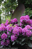 Purple Dandy Man Purple Rhododendron Flowers and Foliage