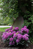 Dandy Man Purple Rhododendron Shrub Under Tree