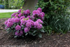 Dandy Man Purple Rhododendron Bush Covered in Flowers