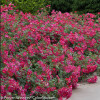 Oso Easy® Cherry Pie Rose
