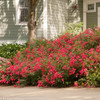 Large Oso Easy Cherry Pie Rose Shrub Next To House Blooming