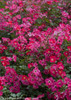Oso Easy Cherry Pie Rose Foliage