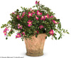 Oso Easy Cherry Pie Rose in Garden Planter