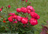 Oso Easy Double Red Rose Shrub Branch Covered in Blooms