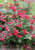 Oso Easy Double Red Rose Shrub Blooming