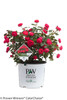 Oso Easy Double Red Rose in Proven Winners Pot