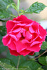 Oso Easy Double Red Rose Flower After Watering
