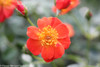 Oso Easy Hot Paprika Rose Shrubs in Landscaping