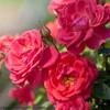 Oso Easy Mango Salsa Rose Flowers Close Up