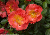 Oso Easy Mango Salsa Rose Petals Close Up