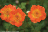 2 Oso Easy Paprika Rose Flowers Close Up