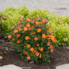 Manicured Oso Easy Paprika Rose Bush