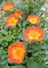 Oso Easy Paprika Rose Foliage and Flowers