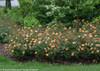 Oso Easy Paprika Rose Landscape Border