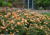 Oso Easy Paprika Rose Shrub in Landscaping