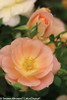 Oso Easy Peachy Cream Rose Opening Up