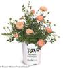 Oso Easy Peachy Cream Rose in Proven Winners Pot