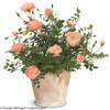 Oso Easy Peachy Cream Rose Blooming in Garden Planter