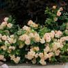 Oso Easy Peachy Cream Rose Shrub Covered in Flowers