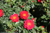 Oso Easy Urban Legend Rose Leaves and Blooms