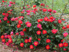 Oso Easy Urban Legend Rose Shrub Covered in Blooms