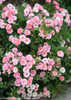 Oso Happy Petit Pink Rose Shrub Covered in Blooms