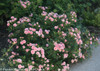 Oso Happy Petit Pink Rose Bush Next To Sidewalk