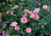 Oso Happy Petit Pink Rose Blooms and Leaves