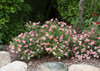 Oso Happy Petit Pink Rose Bushes in the Landscaping