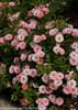 Oso Happy Petit Pink Rose Shrub Flowering