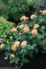 At Last Rose Shrub in Flower Garden