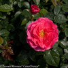 Livin' La Vida Rose Shrub Blooms and Foliage