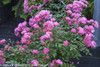 Row of Oso Easy Double Pink Rose Shrubs