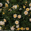 Oso Easy Italian Ice Rose Bush Covered in Flowers