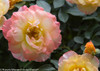 Oso Easy Italian Ice Rose Flowers in Yellow White and Pink