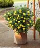 Oso Easy Lemon Zest Rose Bush in Garden Planter