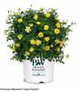 Oso Easy Lemon Zest Rose Shrub in Proven Winners Pot