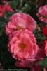 Oso Easy Pink Cupcake Rose Shrub Blooming