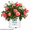 Oso Easy Pink Cupcake Rose in Proven Winners Pot